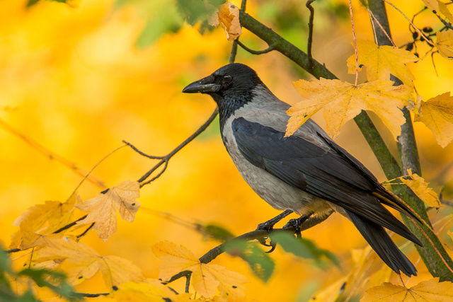 Wrona (Corvus corone)