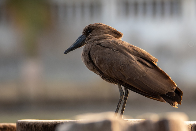 Waruga (Scopus umbretta) - Gambia